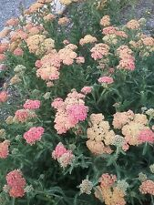 Achillea Walter Funke BARE ROOTED perennial plant