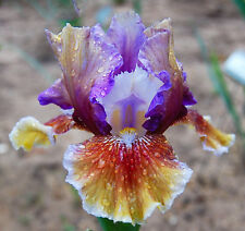 Gorgeous Tall Bearded Iris 2 Bulbs Over Alaska Yard Garden Flowers Plant Bonsai