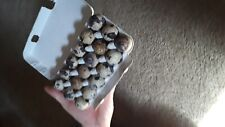 New listing  30+ Jumbo coturnix quail hatching eggs