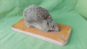 Old Hedgehog Taxidermy
