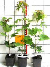 Acer saccharum   /  kanadischer Zuckerahorn   -Pflanze-