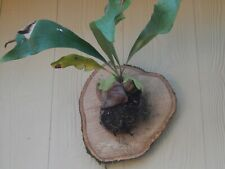 Staghorn Fern Platycerium Mounted on Natural Cut Wood Ready to Hang Medium Size