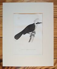 Pica (MAGPIE) , 1826 ORIGINAL PRINT, Antique ENGRAVING, Matted 8X10 Ornithology