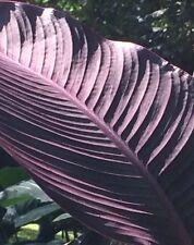 Canna Bulbs Lot $50 Green Purple Leaf 50 Canna Lily Bulbs ☀�Free Ship Sale! ☀�