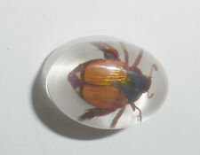Insect Cabochon Golden Cockchafer Beetle Oval 12x18 mm white bottom 1 pc Lot