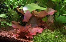 nenuphar x 2 bulbes demarés nymphea rubra lotus rouge aquarium   bulbe