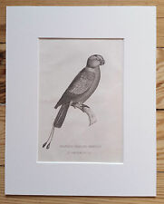 PARROT, 1829 ORIGINAL PRINT Antique ENGRAVING, Matted 8X10 BIRDS Racket-Tailed
