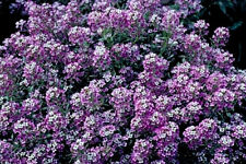 Alyssum Seeds, Royal Carpet, Ground Cover Seeds, Heirloom Flower Seeds, 75ct