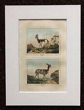 Impresión de color mano montado Buffon Antiguo c.1800 - antílope-grabado-Ciervo.