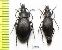 Carabidae, Carabus (Morphocarabus) henningi ssp., Russia, Siberia