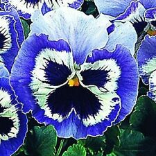 50 Snow Pansy Seeds Blue And White FLOWER SEEDS
