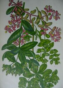 25 Illustrations Flowering Plants of Great Britain 1870 Chromolithographs.