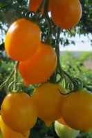 10 graines de tomate rare Piennolo Giallo del Vesuvio beauté et saveur!
