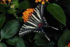 432038 Zebra Swallowtail Eurytides Marcellus A4 Photo Print