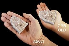 "Angel Aura Quartz Crystal Cluster 2 1/2"" 4-7 Oz Mineral Specimen Chakra Healing"