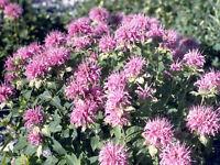 Herb BEE BALM Wild Bergamot✿500 SEEDS✿Monarda fistulosa✿Culinary✿Teas✿Flowers