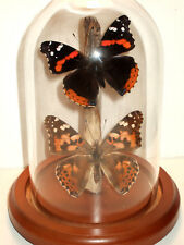 European Vanessa Butterfly Dome