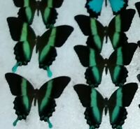 Papilio blumei A Lot of 10 Stunning Unmounted A1 Specimens from Sulawesi