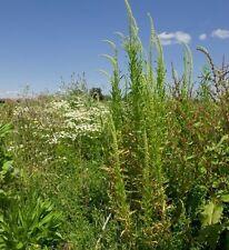Flores Silvestres Semillas-Soldadura - 500 Semillas