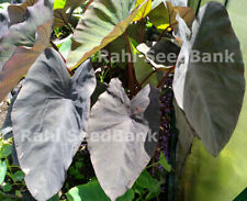 TARO - Black Magic - the Most Beautiful Variety - 1 Plant