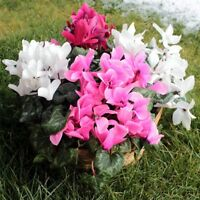 100 Pcs Cyclamen Seeds Beautiful Flower Bonsai For Home And Garden Plants S116