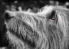 Hairy lurcher greeting card note, greyhound, whippet, birthday, photo shaggy dog
