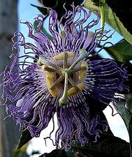 """MARACUJA """"Passiflora incarnata""""  Passionsblume  Blätter und süße Blüten für Tee"""