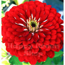 ZINNIA DAHLIA TALL RED - 220 SEEDS - Scarlet Flame elegans - Large double flower