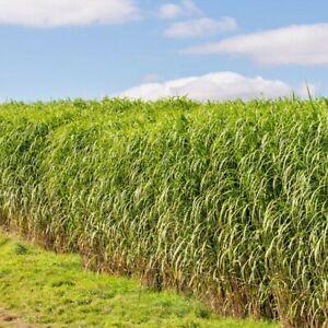 1000+SWITCHGRASS Seeds Native Prairie Tall Grass Clumping Ornamental Perennial