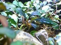 *BUY 2 Get 1 FREE*  Bucephalandra Brownie Ghost Ulu Kapus RARE Aquarium Plant ✅