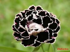 30+ BLACK / WHITE CARNATION FLOWER SEEDS / PERENNIAL