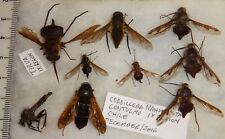 Diptera RARE 9 Mixed Fly Species Chile #1 Asilidae Bomyliidae Insect Collection