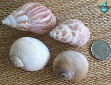 4 Large Medium Sea Shells - Hermit Crab, Craft Or Collection