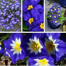 100pcs Rare Blue Evening Primrose Seeds Pansy Flower Garden Bonsai Perennial New