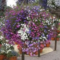 Lobelia- Fountain Mix- 100 Seeds - BOGO 50% off SALE