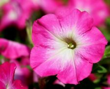 PINK MORN PETUNIA White Bicolor Picotee Pots Planters Baskets 20 Pelleted Seed