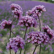 Verbena - Bonariensis - 500 Seeds