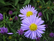 Aster novi-belgi 'Lady in Blue' - FREE P/P WHEN YOU BUY 3+ ITEMS