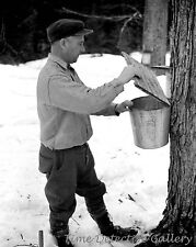 Gathering Sap from Maple Tree for Syrup, Waitsfield VT 1940 Historic Photo Print