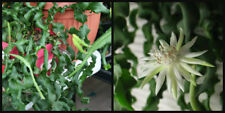 1 Epiphyllum CUTTING Guatemalense Monstrose CURLY LOCKS Orchid Cactus Succulent