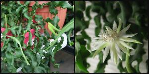 1 Epiphyllum CUTTING Guatemalense Monstrose CURLY LOCKS Orchid Cactus Succulent