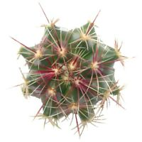 Red Thorn Yellow Spike Cactus Cactus Spines Fresh Green (4 inch pot)