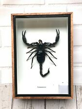 Real Giant Forest Scorpion Palamnerus Insect Wood Display Case Box Taxidermy Bug
