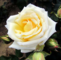10 graines de Rosier rose BLANC & JAUNE / 10x WHITE & YELLOW Rose rosebush seeds