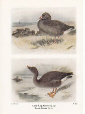 BIRD PRINT 60 YEARS OLD ~ GREY-LAG & BEAN GOOSE ~ BIRDS OF THE BRITISH ISLES