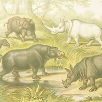 Hippo & Rhinos print antique natural history colour lithograph Blackie & Son