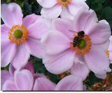 Perennials- Anemone  Pink