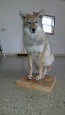 Coyote Lifesize Mount, taxidermy, deer, elk, antlers, small animals