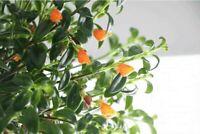 "Goldfish Flowers Live Plant 4"" Pot Blooms Frequently Indoor Outdoor Garden"