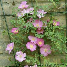 Rosa nanothamnus - Rare Rose Shrub Potted Plant in 9cm Pot